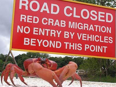 christmas-island-red-crab1